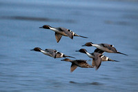 5 Pintails in Flight (#1669)